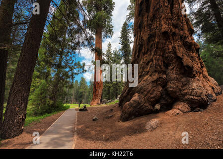 Path amongst the giant redwoods in Sequoia National Park, California - Stock Photo