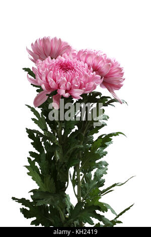 Bouquet of three big pink chrysanthemum flowers isolated on white background - Stock Photo