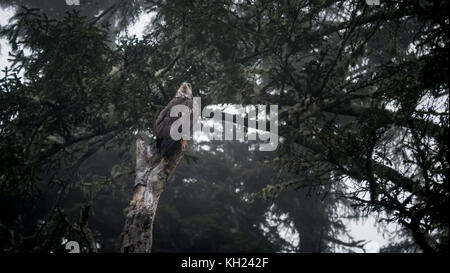 An immature/juvenile bald eagle sitting in a tree at camp on a foggy day(West Coast Trail, Vancouver Island, BC, - Stock Photo
