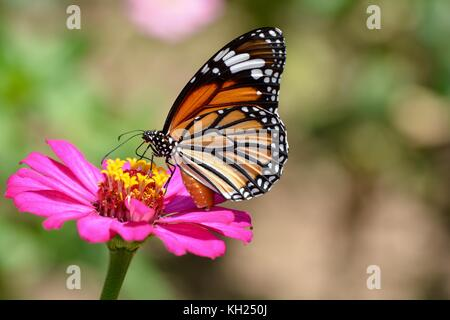 Common tiger butterfly feeding on a pink daisy in the midday sun - Stock Photo