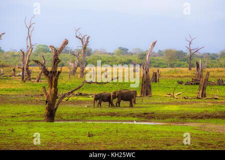 Wild Elephants in Sri Lanka - Stock Photo