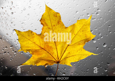 Yellow autumn maple leaf on a rainy window. The concept of Fall seasons - Stock Photo