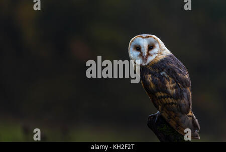 A captive Barn Owl resting on a tree trunk in the midst of a meadow - Stock Photo