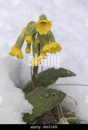 Cowslip, Primula veris, flowering after spring snowstorm. - Stock Photo