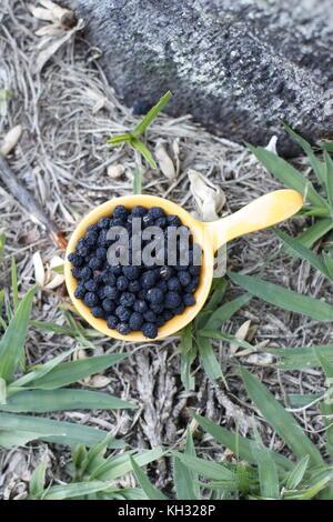 Wild tasmanian wild black pepper in a yellow bowl on grass - Stock Photo