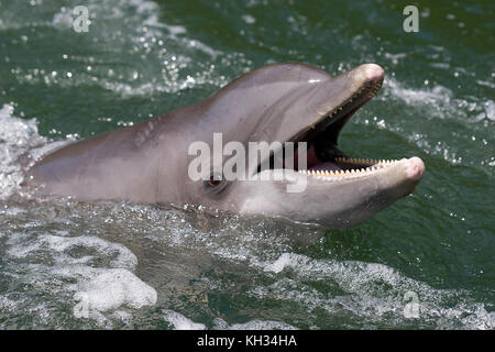 Atlantic bottlenose dolphin, Tursiops truncates, swimming in the wake of a boat, Florida - Stock Photo