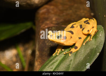 The Panamanian golden frog (Atelopus zeteki) is a critically endangered frog which is endemic to Panama. - Stock Photo