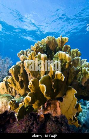 Blade Fire Coral, Millepora sp., Florida Keys National Marine Sanctuary - Stock Photo