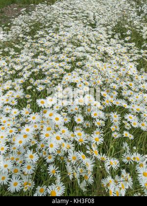 Mass of the flowers of Oxe-Eye Daisy / Leucanthemum vulgare. Synonymous with Chrysanthemum leucanthemum. - Stock Photo