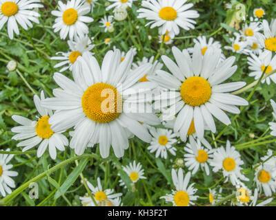 Flowers of Oxe-Eye Daisy / Leucanthemum vulgare. Synonymous with Chrysanthemum leucanthemum. - Stock Photo