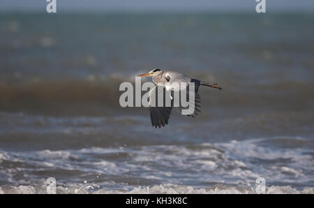 Solitary, adult grey heron (Ardea cinerea) flying low over the sea. Large, impressive wings in downward stroke position - Stock Photo