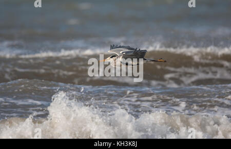Side view of wild, coastal UK grey heron bird (Ardea cinerea) isolated in flight, wings spread, neck retracted, - Stock Photo
