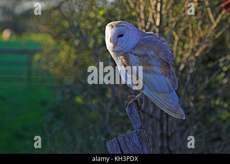 Barn owl Tyto alba near Ringwood Hampshire England - Stock Photo