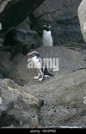 Fiordland crested penguin Eudyptes pachyrhynchus on rocky shore New Zealand - Stock Photo