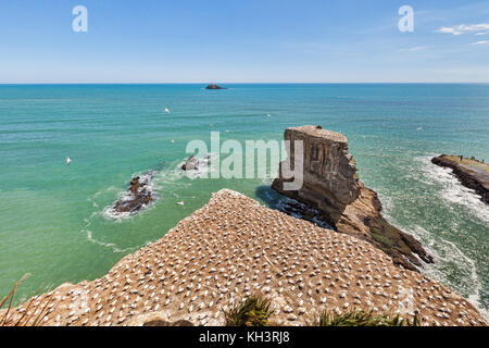 Muriwai Gannet Colony, Auckland, New Zealand. - Stock Photo