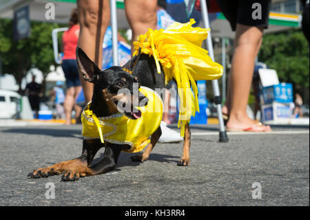 Miniature pinscher dog celebrating carnival dressed up in a costume at the annual 'blocao' street party for animals - Stock Photo