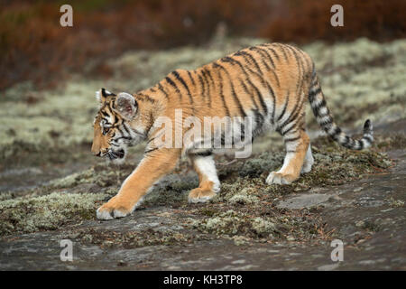 Royal Bengal Tiger ( Panthera tigris ), walking, sneaking over a rock plateau, full body side view, young animal in natural surrounding.