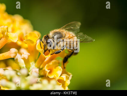A macro shot of a honey bee collecting pollen from a yellow butterfly bush. - Stock Photo