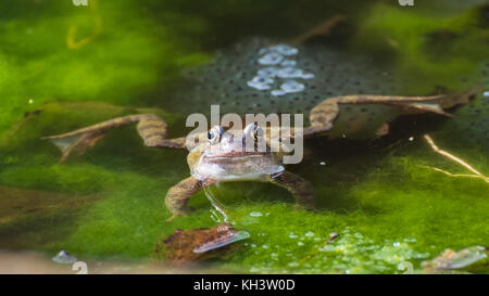 A frog sits guarding some frogspawn in a garden pond. - Stock Photo