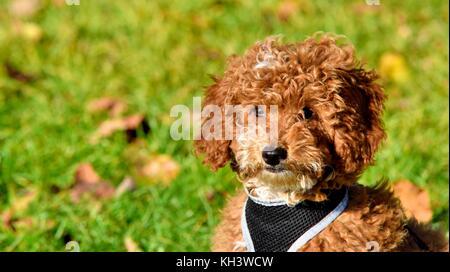 Red Cockapoo puppy dog - Stock Photo