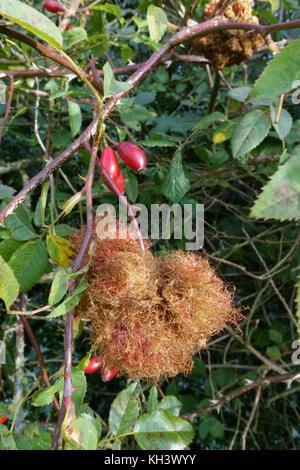 Rose bedeguar gall or robin's pincushion, Diplolepis rosae, gall wasp damage to a wild dog rose, Rosa canina, Berkshire, - Stock Photo