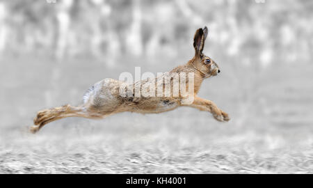 Black and white photography with color run hare - Stock Photo