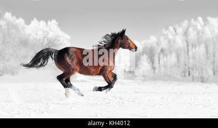 Horse runs gallop on the winter field. Black and white photography with color horse - Stock Photo