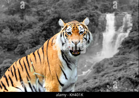 Amur Tigers on a geass in summer day. Black and white photography with color tiger - Stock Photo