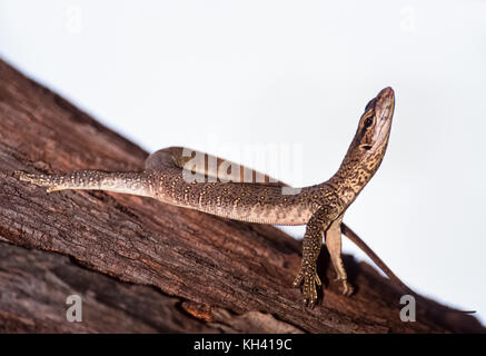 young Bengal monitor or Common Indian monitor, (Varanus bengalensis), in tree habitat, Keoladeo Ghana National Park, - Stock Photo