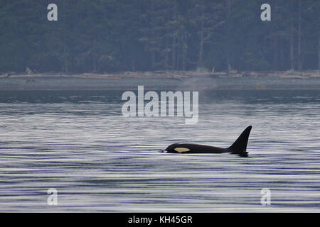 Northern Resident Killer Whale (Orcinus orca) surfacing near a beach on the Canadian West Coast near Malcolm Island. - Stock Photo