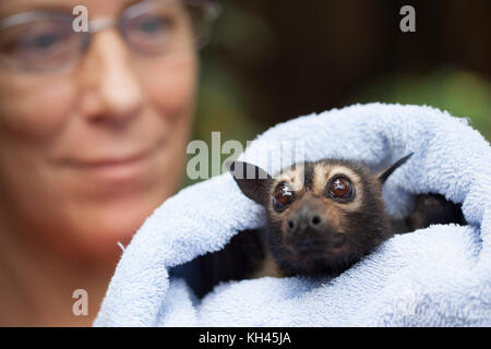 Spectacled Flying-fox (Pteropus conspicillatus). Adult female in care following non-fatal electrocution. Port Douglas. - Stock Photo
