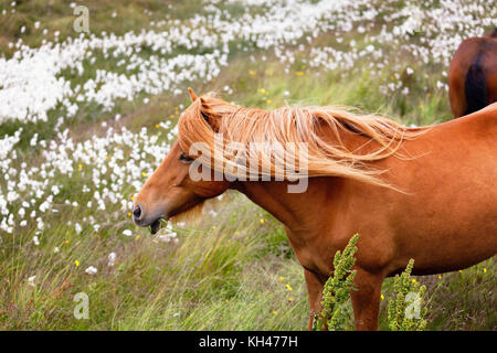 Close Up View of an Icelandic Horse Grazing in a Meadow with Wildflowers, Iceland - Stock Photo
