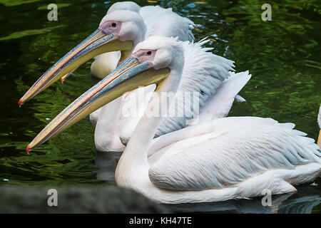 Three white pelicans - Stock Photo