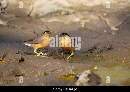 Brahminy Starling, Sturnia pagodarum, Panna Tiger Reserve, Madhya Pradesh - Stock Photo