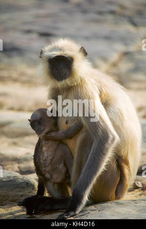 Hanuman Langur, Bandhavgarh Tiger Reserve, Madhya Pradesh, India - Stock Photo