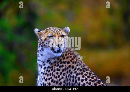 African Cheetah, Kenya, Africa - Stock Photo