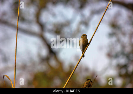 Bush chat, Dudhwa Tiger Reserve, Uttar Pradesh, India - Stock Photo