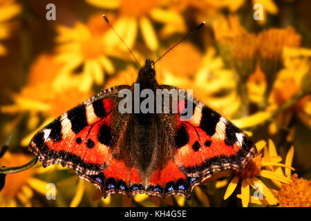 Small tortoiseshell Butterfly (Aglais urticae) perches delicately on a ragwort plant. - Stock Photo