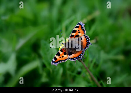 Small tortoiseshell Butterfly (Aglais urticae) perches delicately on a Dandelion - Stock Photo