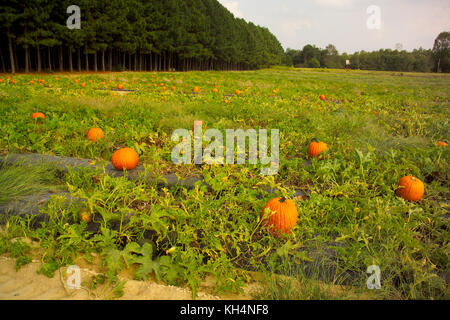 MATURE PUMPKINS AT HARVEST TIME, WASHINGTON FARMS WATKINS, GA - Stock Photo