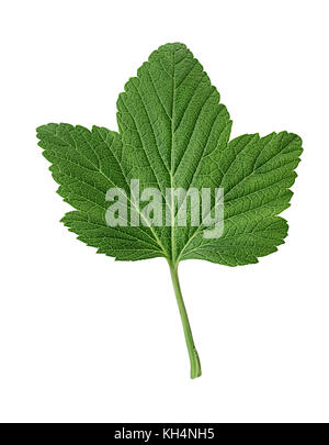 Currant green leaf isolated on white background. Clipping Path. Full depth of field. - Stock Photo