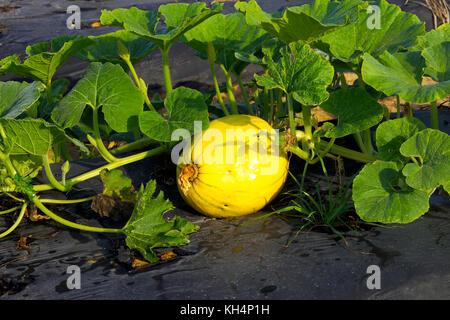 pumpkin hundredweight