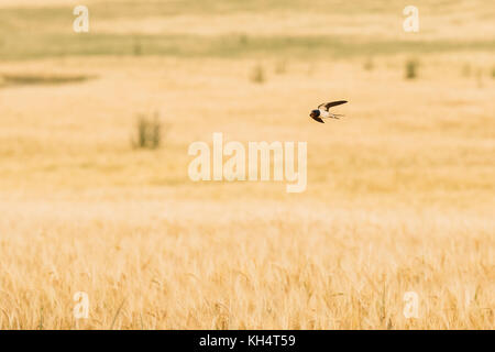 Common House Martin Swallow Wild Bird Flying Over Field With Wheat. - Stock Photo