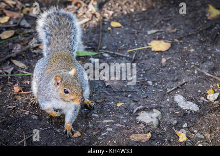 A Gray Grey Squirrel Sciurus carolinensis in Tehidy Country park Cornwall UK. - Stock Photo