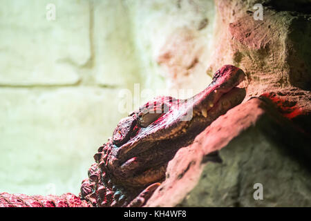 Spectacled caiman, Caiman crocodilus, single animal head shot under an infrared lamp , Brazil - Stock Photo