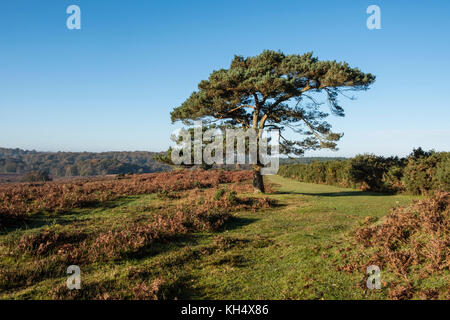 A lone pine tree in the New Forest National Park on heathland in autumn with a path through heather, Hampshire, - Stock Photo