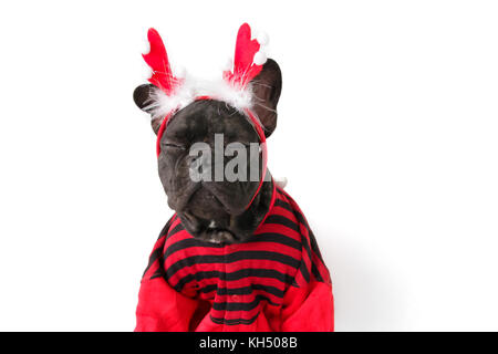 Brindle French bulldog in Christmas clothing - Stock Photo