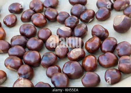 Rosskastanien, Kastanien werden getrocknet, Gewöhnliche Rosskastanie, Ross-Kastanie, Kastanie, Aesculus hippocastanum, - Stock Photo