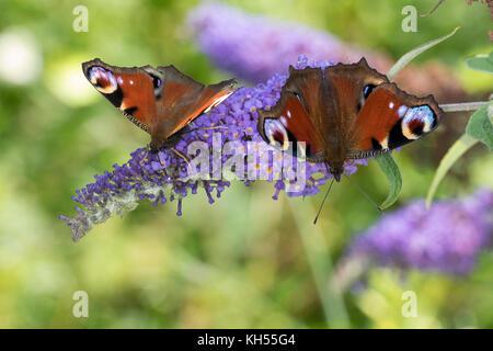 Tagpfauenauge, Tag-Pfauenauge, Blütenbesuch auf Schmetterlingsflieder, Buddleja, Aglais io, Inachis io, Nymphalis - Stock Photo