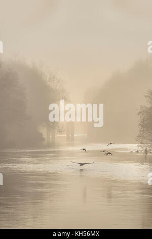Swans at dawn on the River Wye. - Stock Photo